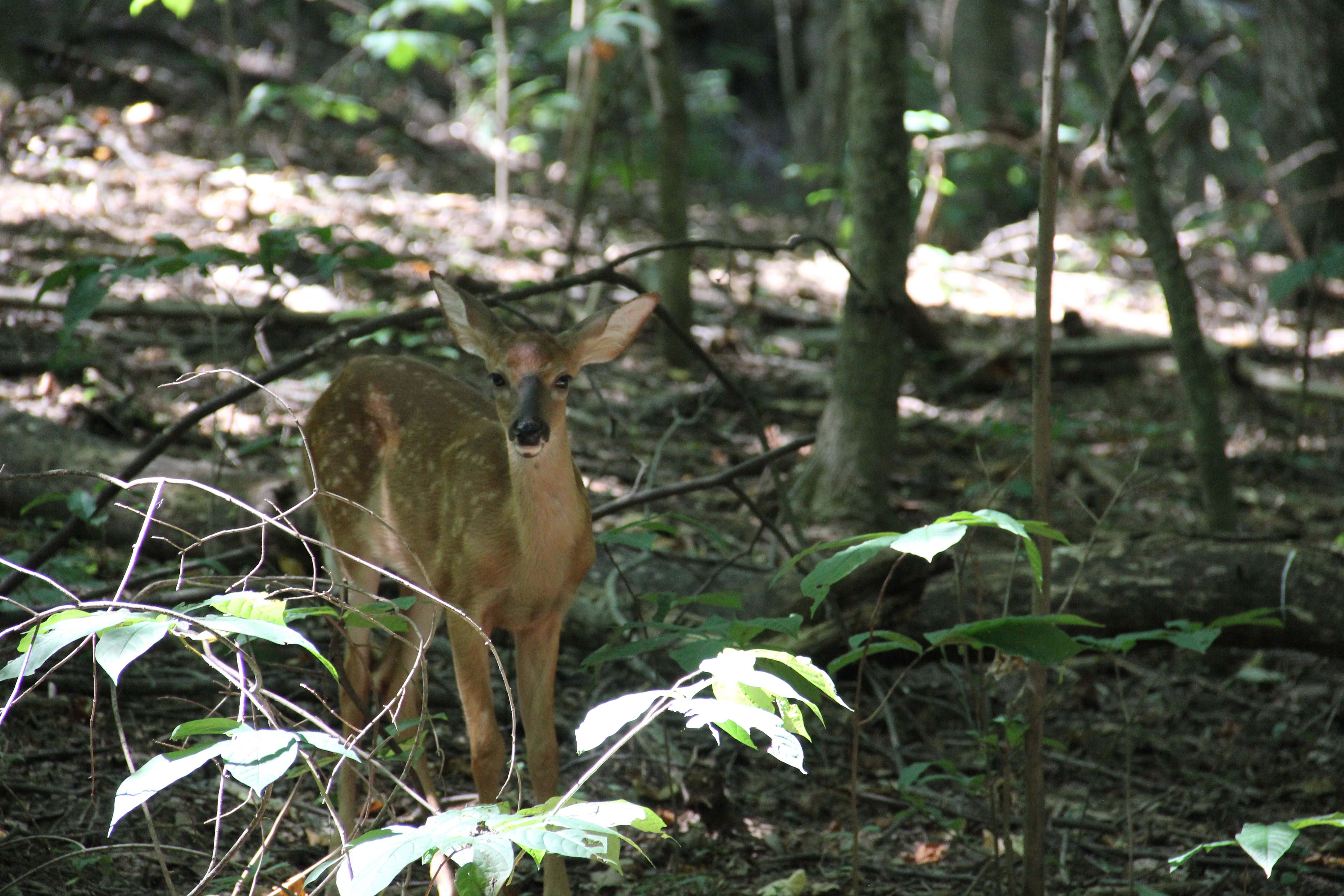 deer at radnor lake, nashville tn