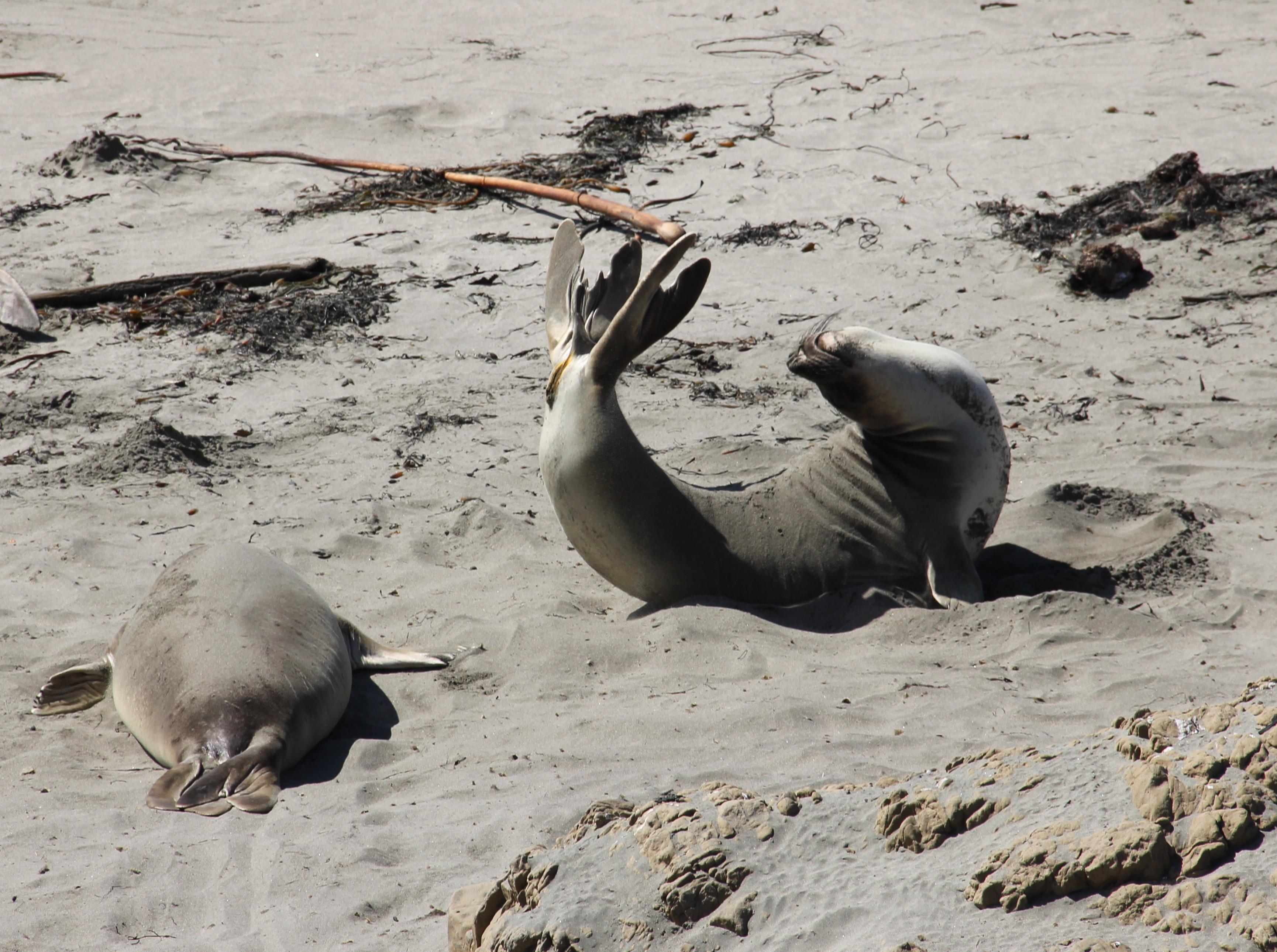 Seal Yoga at Elephant Seal Rookery