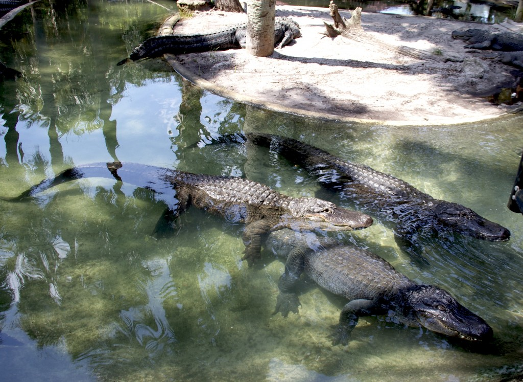Pictures of Alligators St Augustine