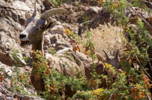 Horned Sheep - Black Cayon Nevada