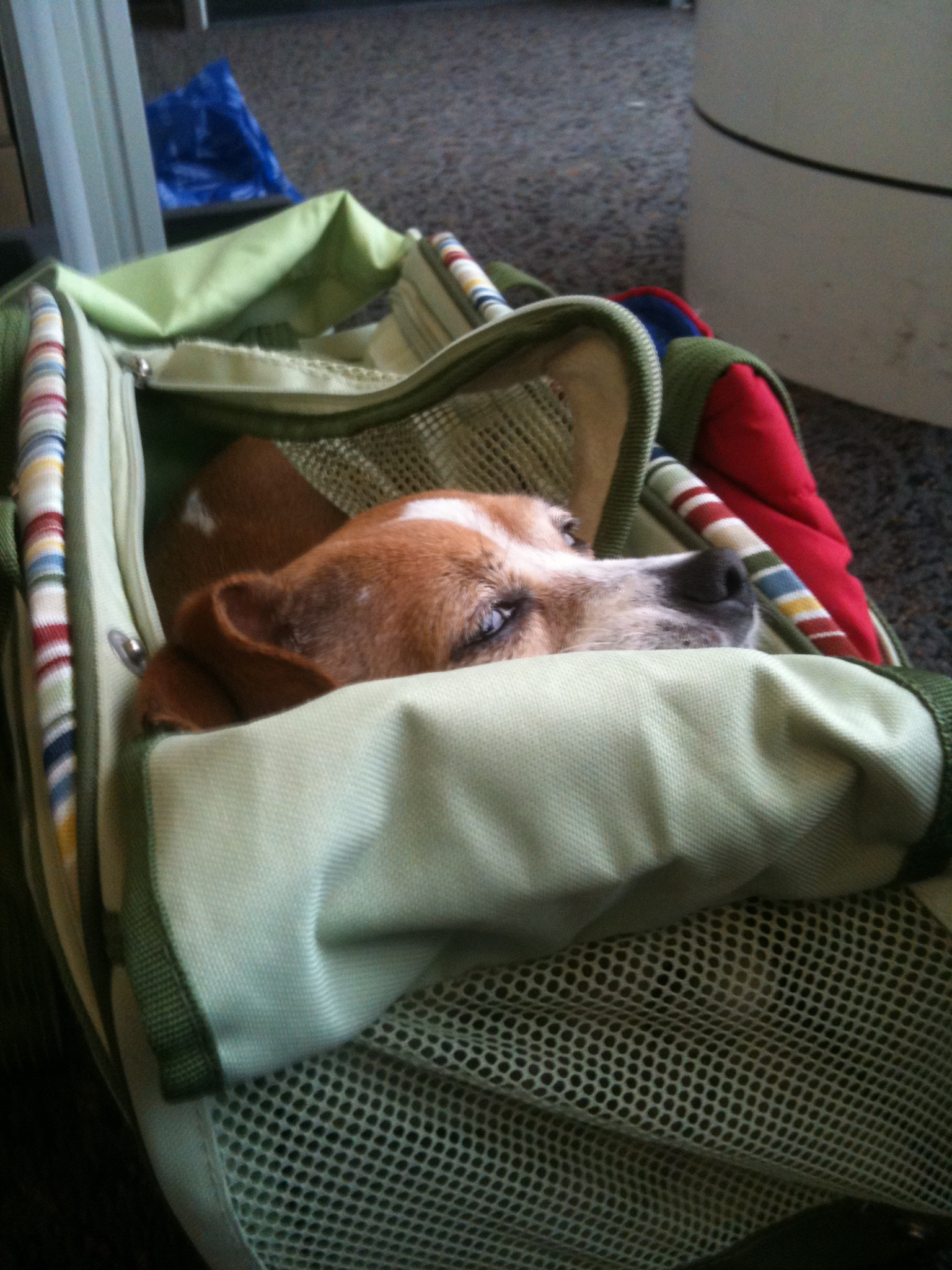 The 5 Obstacles of Pet Travel by Plane