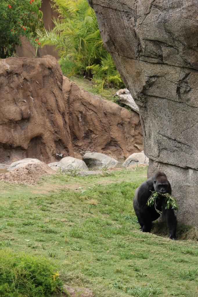 Los Angeles Zoo: Life of a Go Zoo Gorilla