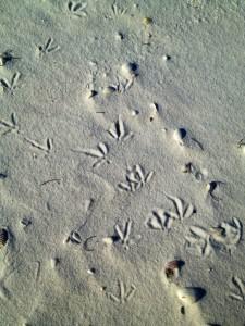 bird tracks on shell island