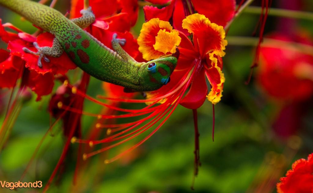 Lizard in Flower Licking - V3