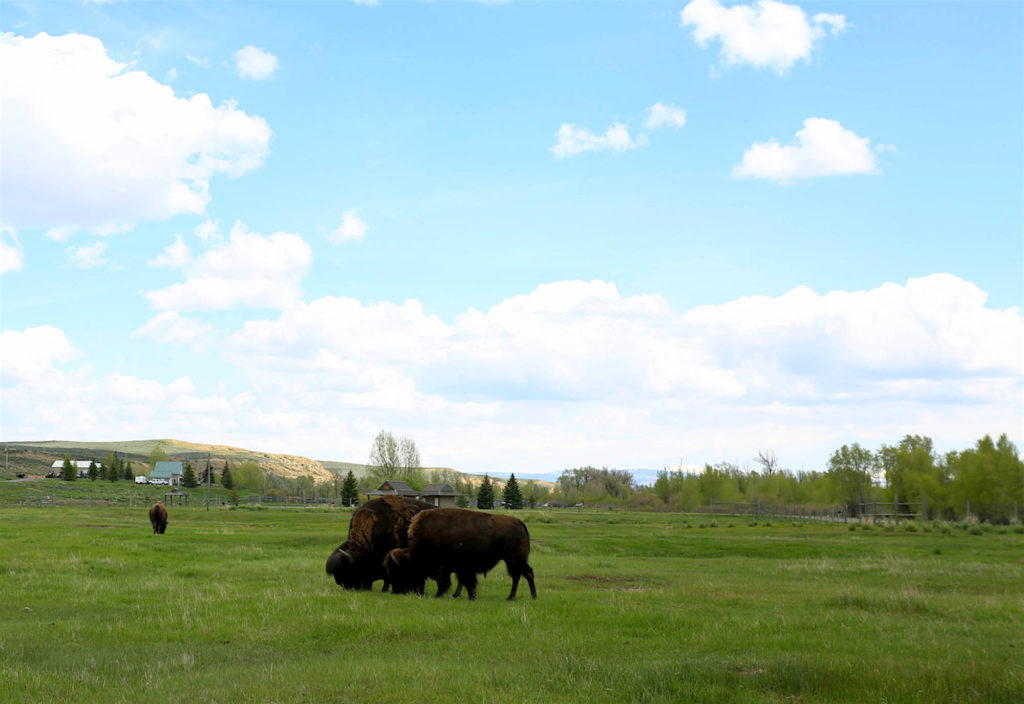 Bison in Wyoming state park